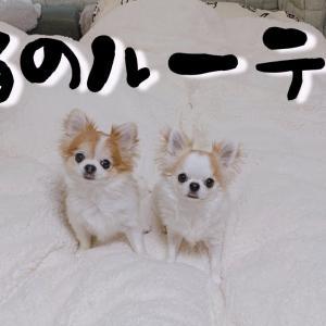 犬と一人暮らしの飼い主の夜のルーティン【チワワ】 #犬動画 #かわいい犬 #わんこ