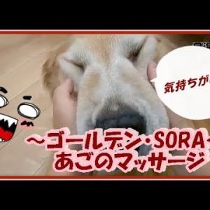 大型犬と暮らす。かわいい大型犬  ゴールデンレトリバー あごのマッサージ!もっとやってと催促するそら。 Golden Retriever #犬動画 #かわいい犬 #わんこ