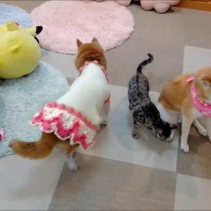 可愛いおばあちゃん柴犬母娘とお世話好きの優しい子猫 #犬動画 #かわいい犬 #わんこ