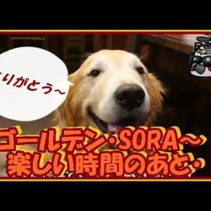 大型犬と暮らす。かわいい大型犬  ゴールデンレトリバー そらに会いに来てくれました!遠方よりありがとうございます。 Golden Retriever #犬動画 #かわいい犬 #わんこ