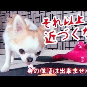 うなり声をあげて飼い主を威嚇する犬【チワワ】 #犬動画 #かわいい犬 #わんこ