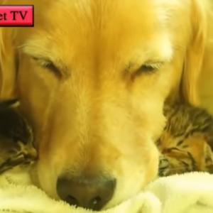 「かわいい犬, 猫」初めて新入り子猫に会ったゴールデン犬の反応が超かわいい・優しい犬たち #犬動画 #かわいい犬 #わんこ