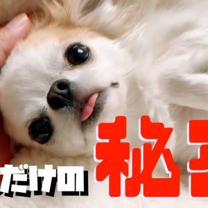 誰も知らない飼い主の秘密を実は知っていた犬【チワワ】 #犬動画 #かわいい犬 #わんこ