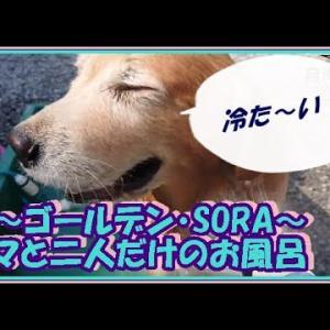大型犬と暮らす。かわいい大型犬  ゴールデンレトリバー ママと二人だけのお風呂!週に1度の日課です。 Golden Retriever #犬動画 #かわいい犬 #わんこ