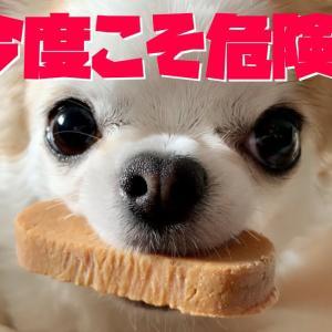 本気で威嚇する事を覚えはじめた犬【チワワ】 #犬動画 #かわいい犬 #わんこ