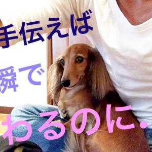 ミニチュアダックスフンド 父さん手伝おうか? #犬動画 #かわいい犬 #わんこ