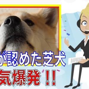 【海外の反応】激カワ! 外国人「可愛いすぎる!?」 日本の柴犬の人気が凄いのはどうして? #犬動画 #かわいい犬 #わんこ