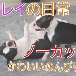 フレンチブルドッグ レイとボストンテリア ゼロのかわいいのんびり日常 #犬動画 #かわいい犬 #わんこ