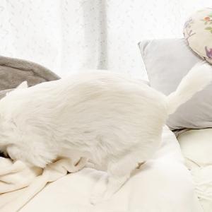 毛布にくるまってお昼寝するの可愛い犬!チワワのコハク #犬動画 #かわいい犬 #わんこ