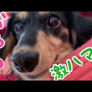 【愛犬】激はまりおやつを食べるろろちゃん ミニチュアダックスフンド ブラックタン #犬動画 #かわいい犬 #わんこ
