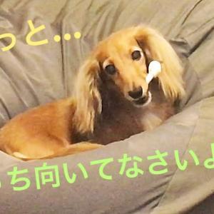 ミニチュアダックスフンド すっとぼけモモさん(≧∀≦) #犬動画 #かわいい犬 #わんこ