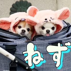 チワワ達がネズミのコスプレして初詣行ったら色んな意味でヤバかった!! #犬動画 #かわいい犬 #わんこ