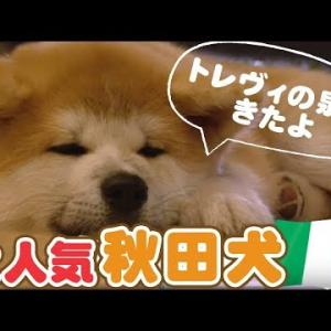 「どうぶつピース!!かわいい大図鑑」犬編(11)日本犬 in イタリア! ローマの休日は大さわぎ!? #犬動画 #かわいい犬 #わんこ