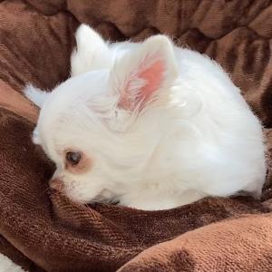 撫でてくれるのを待ってる可愛い犬!チワワのコハク #犬動画 #かわいい犬 #わんこ