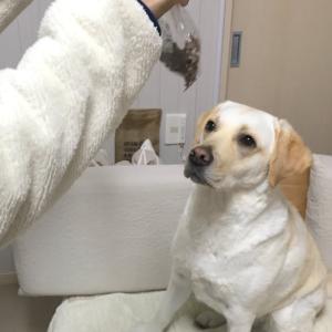 どっちのおやつが欲しい?ラブラドールレトリバー #犬動画 #かわいい犬 #わんこ