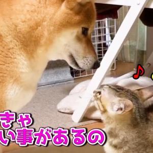 柴犬の散歩帰りを待ちわびる子猫の行動が可愛い Kitten is waiting for Shiba Inu to return #犬動画 #かわいい犬 #わんこ
