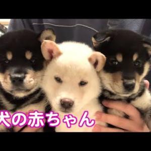 【かわいい】柴犬の子犬3兄弟 #犬動画 #かわいい犬 #わんこ