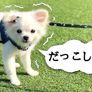 【初散歩で抱っこをせがむ子犬が可愛い❤︎】甘えん坊ポメラニアン×チワワのふくちゃんがドッグランでお散歩デビューの練習! #犬動画 #かわいい犬 #わんこ