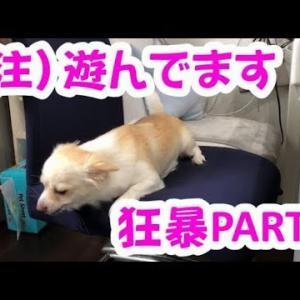 【かわいい子犬チワワのさくら】遊んでるのに狂暴に見えてしまうさくら。噛みつき注意。 #犬動画 #かわいい犬 #わんこ