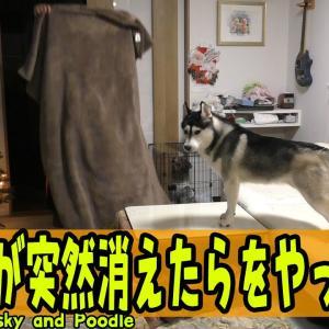 飼い主が突然消えたらハスキー犬とトイプードルの反応がヤバすぎた Husky and Poodle #犬動画 #かわいい犬 #わんこ