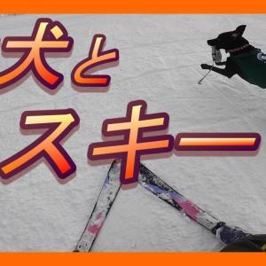 ラブラドールレトリバー(黒)と無料スキー場 / 犬旅10(犬 かわいい 遊ぶ 喜ぶ 甘える 癒し labrador) #犬動画 #かわいい犬 #わんこ
