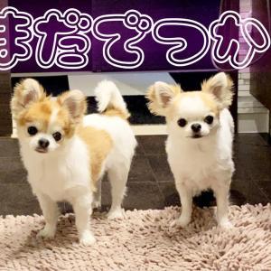 入浴中も飼い主のそばに行きたくてソワソワが止まらないチワワ達w #犬動画 #かわいい犬 #わんこ