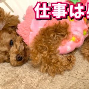 飼い主のベッドでドヤ顔で寝る犬が可愛い【トイプードルのコロン】 #犬動画 #かわいい犬 #わんこ