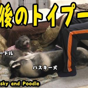 負傷後のトイプードルに負けるハスキー犬がおもしろい Husky and Poodle #犬動画 #かわいい犬 #わんこ