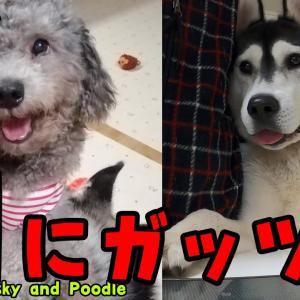 大好物のローストビーフを食べるハスキー犬とトイプードルがかわいい Husky and Poodle #犬動画 #かわいい犬 #わんこ