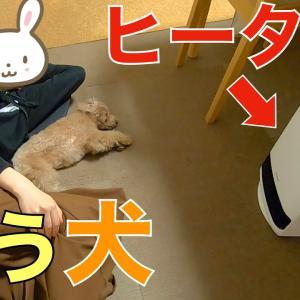 部屋が寒くてママからヒーターを奪ったまま動かなくなる犬が可愛いw【トイプードル】 #犬動画 #かわいい犬 #わんこ