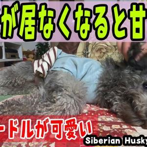 ハスキー犬が居なくなると急に甘えだすトイプードルが可愛い Husky and Poodle #犬動画 #かわいい犬 #わんこ