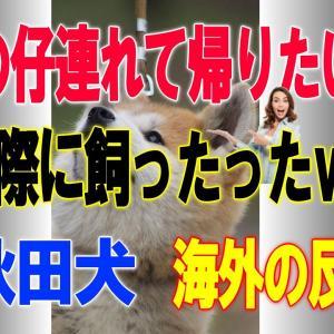海外「秋田犬は本当に忠実だし可愛い!」秋田犬の子犬に外国人もメロメロ=海外の反応= #犬動画 #かわいい犬 #わんこ