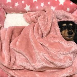 【可愛い犬】新しいベットプレゼント ミニチュアダックスフンド ブラックタン #犬動画 #かわいい犬 #わんこ