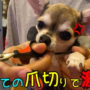 🐶チワワ(本気で怒る姿がまた可愛い..爪切りを必死で抵抗する子犬) Puppy hates cutting nails #犬動画 #かわいい犬 #わんこ