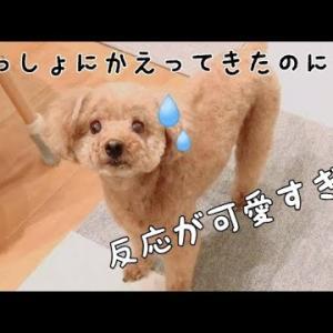さっきまでいたはずのパパがいない!!反応が可愛い♡ トイプードルのTaruto&Rasuku #犬動画 #かわいい犬 #わんこ