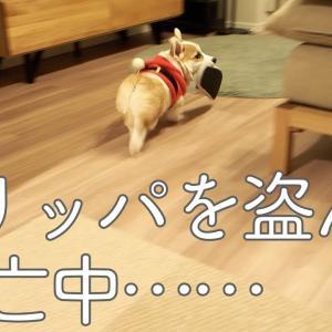 【日常のひとコマ】サンタコーギー、飼い主のスリッパを盗んで逃亡中 #犬動画 #かわいい犬 #わんこ