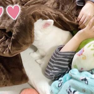 ママの横で赤ちゃんみたいにベッタリして甘える可愛い犬|チワワのコハク #犬動画 #かわいい犬 #わんこ