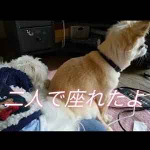 【マルチーズ けんた君】和っ君vsけんた ママをめぐり、静かなる戦い🐶 #犬動画 #かわいい犬 #わんこ