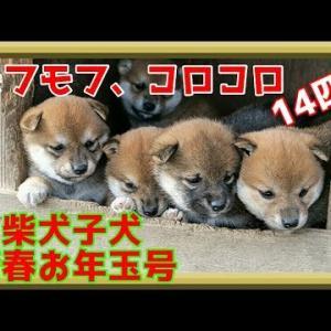 【柴犬子犬】てんちゃん、新年里帰り!14匹の子犬君たちに出会う! 太郎の犬モノガタリ#205 #犬動画 #かわいい犬 #わんこ