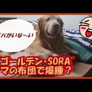 大型犬と暮らす。かわいい大型犬  ゴールデンレトリバー パパがいな~い!寂しくてママの布団へ。 Golden Retriever #犬動画 #かわいい犬 #わんこ
