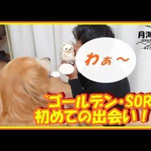 大型犬と暮らす。かわいい大型犬  ゴールデンレトリバー 初めての出会い!?しゃべるおもちゃに大興奮。 Golden Retriever #犬動画 #かわいい犬 #わんこ
