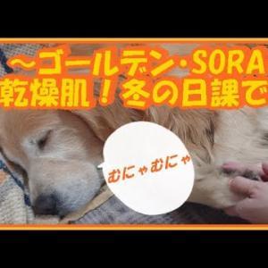 大型犬と暮らす。かわいい大型犬  ゴールデンレトリバー 肉球にクリーム!冬の日課です。Golden Retriever #犬動画 #かわいい犬 #わんこ