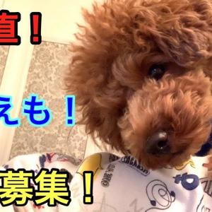 首をかしげる仕草&遠吠えが可愛い過ぎるトイプードル【質問募集します】 #犬動画 #かわいい犬 #わんこ