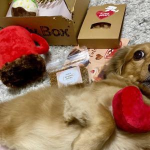ダックスフンド 可愛いすぎるドギーボックス2月号! #犬動画 #かわいい犬 #わんこ