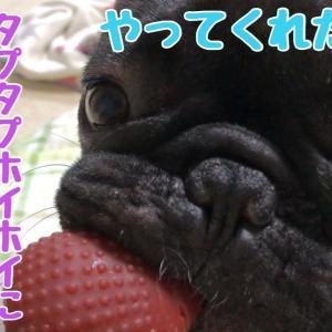 簡単に罠にかかるお茶目なフレンチブルドッグ【ラグビー】 #犬動画 #かわいい犬 #わんこ