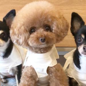 トイプードルとチワワが器用に年末年始の挨拶する姿がかわいすぎたToy poodle puppies 토이푸들[PEPEPETS] #犬動画 #かわいい犬 #わんこ