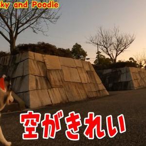 空が綺麗です。ハスキー犬とトイプードルのお散歩 Husky and Poodle #犬動画 #かわいい犬 #わんこ