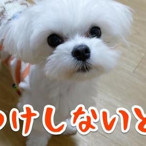 暴れん坊秋田犬ランプの教育について考えるマルチーズのちゅーぶくん #犬動画 #かわいい犬 #わんこ
