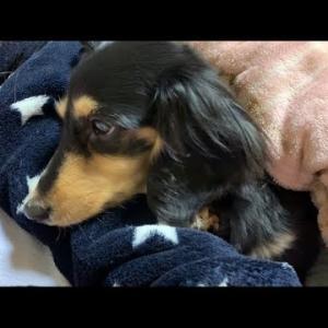 【可愛い犬】主の背中で寝る犬 ミニチュアダックスフンド #犬動画 #かわいい犬 #わんこ