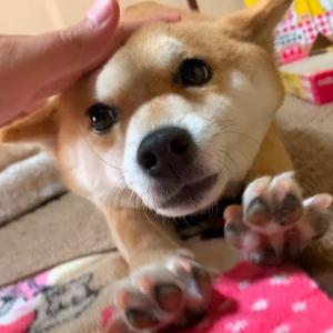 うちの柴犬がマジで可愛い瞬間がこちらです shiba inu #犬動画 #かわいい犬 #わんこ